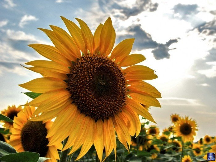 Цветы подсолнуха целебные свойства