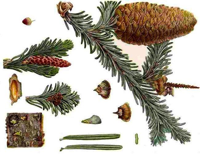 При бронхите, трахеите и бронхиальной астме применяют отвар хвои ели