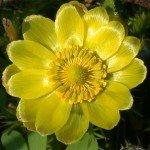 Адонис весенний (горицвет)